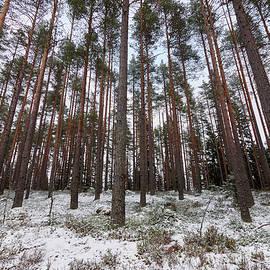 Jouko Lehto - Kirkaslamminkangas pine forest