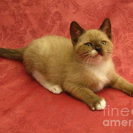 Pamela Benham - Kitten Mink Chocolate and White X Burmese Snowshoe SilkTapestryKittensTM