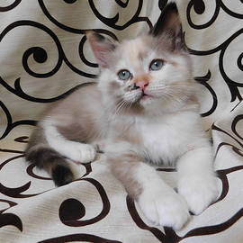 Pamela Benham - Kitten Mink Chocolate Calico One Of A Kind Cutest Kitten Ever SilkTapestryKittensTM