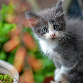 Kitten posing for photo by David Zanzinger