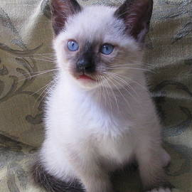 Pamela Benham - Kitten Seal Point Mitted