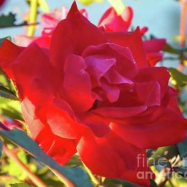 Cindy Treger - Knock Out Rose And Evening Light