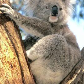 Koala 1 by Jerry Griffin