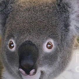 Gary Gingrich Galleries - Koala-2104