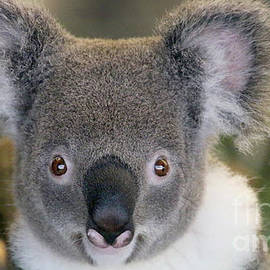 Koala-2106 by Gary Gingrich Galleries