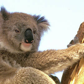 Koala 3 by Jerry Griffin