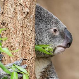 Ruth Jolly - Koala headshot