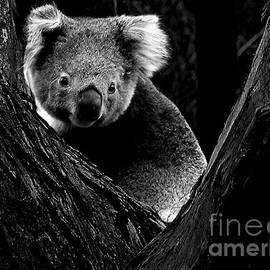 Tim Richards - Koala Park BW