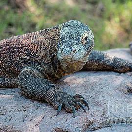 Komodo Dragon by Elisabeth Lucas