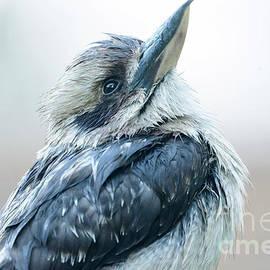 Kookaburra 15 by Werner Padarin