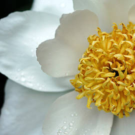 Krinkled White Peony by Debbie Oppermann