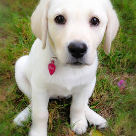 Lab Puppy by Stephen Anderson