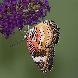 Lacewing hanging on by Ruth Jolly
