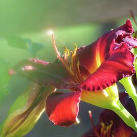 Brooks Garten Hauschild - Lady in Red Dream of a Daylily - Beauty in the Garden