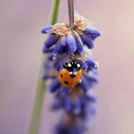 Ladybird On Norfolk Lavender  #norfolk