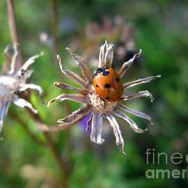 Ladybug 5649 by Murielle Sunier