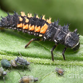 Ladybug Larva And Aphids