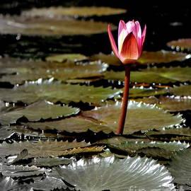 Lahaina Lotus by Michele Hancock