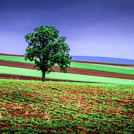 Lancaster Tree In Field by Susan Hendrich