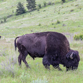 Jerry Voss - Landscape Portrait Big Young Bull Bison feeding Springtime