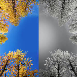 Larches Color to Black and White Reflection - Pelo Blanco Photo
