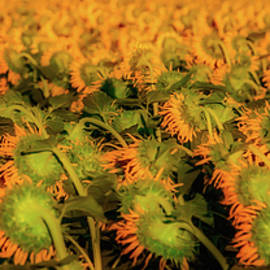 Large Field Of Sunflowers - Garry Gay