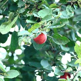 Last Apple by R B Harper