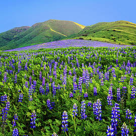 Lynn Bauer - Last Light on the Lupines