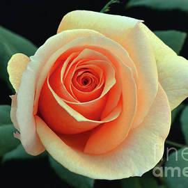 Debby Pueschel - Last Roses of Autumn