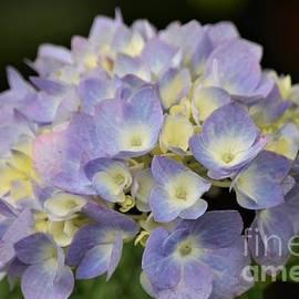 Lavender Hydrangea by Mary Ann Artz