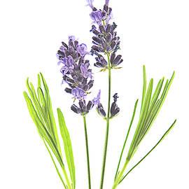 Lavender 2 by Robert Murray