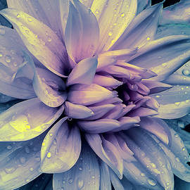 Julie Palencia - Lavender and Pink Dahlia and Water Drops