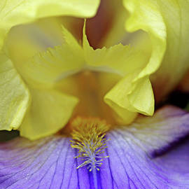 Lavender And Yellow Iris Heart by Debbie Oppermann