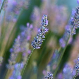 Lynn Hopwood - Lavender in the morning 2