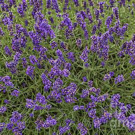 Lavender by Patricia Hofmeester