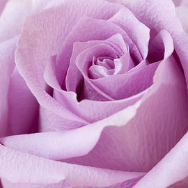 Sandra Foster - Lavender Rose Just About Perfect