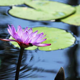 Judy Whitton - Lavender Water Lily #2