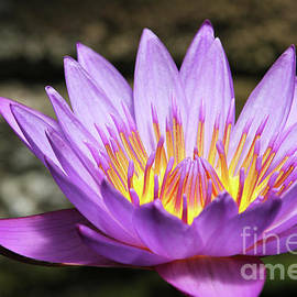 Judy Whitton - Lavender Water Lily #3