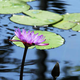 Judy Whitton - Lavender Water Lily #4