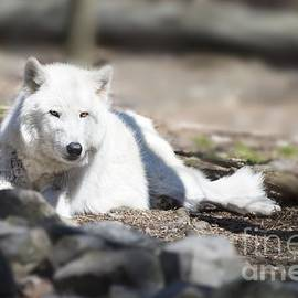 Anthony Sacco - Lazy Wolf