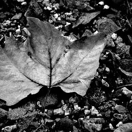 Lesa Fine - Leaf and Pebbles BW