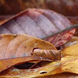 Aaron Rushin - Leaf Moth