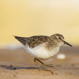 Least Sandpiper in the ponds by Ruth Jolly