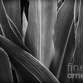 Leaves Lines and Tones by Thomas R Fletcher