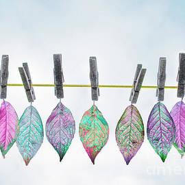 Hal Halli - Leaves on a Clothes Line