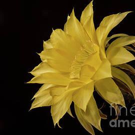 Lemon Pie Flower by Bryan Keil