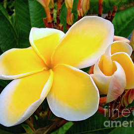 Lemon Yellow Plumeria by Sue Melvin