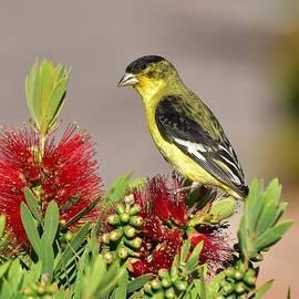 Lesser Goldfinch Perched on Bottlebrush Bush I by Linda Brody