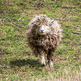 Lettie The Leicester Longwool by Susie Weaver