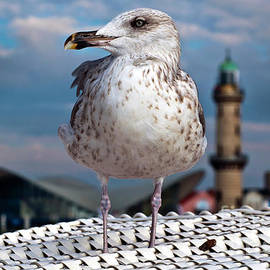 Liberty Of An Pacific Gull by Silva Wischeropp